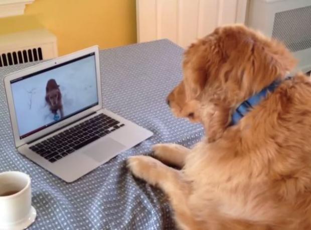 Köpek Videosu İzleyen Köpek