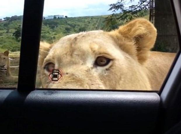 Bir Aslan Kapı Açtı!
