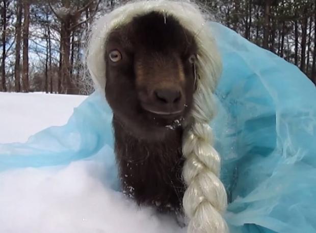 İşte Keçi Elsa