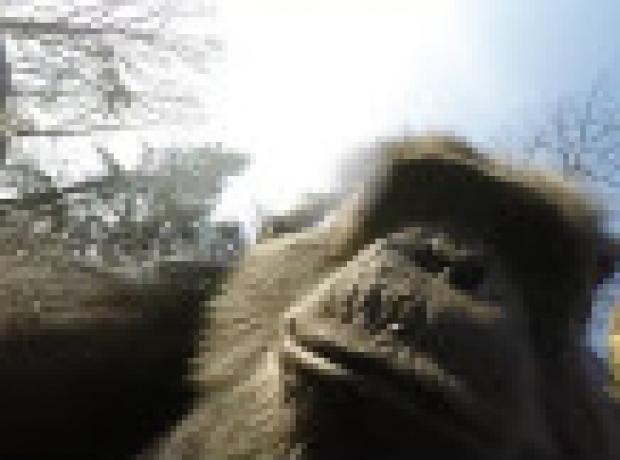 Şempanzelerin uçan kamerayla sınavı