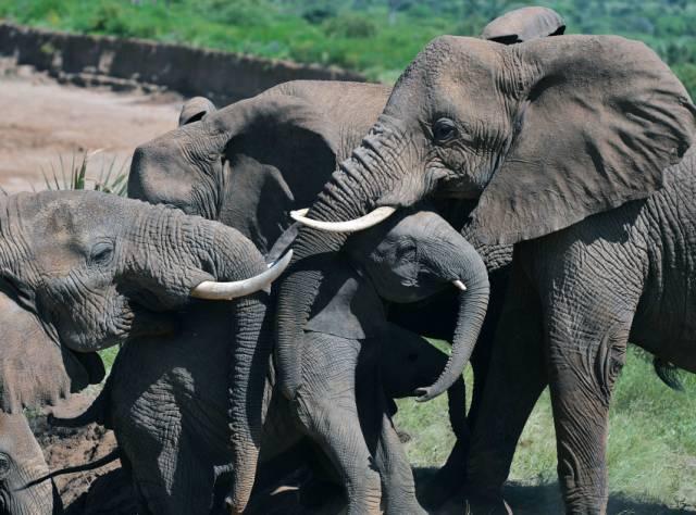 'Afrika fillerinin nesli tükenebilir'