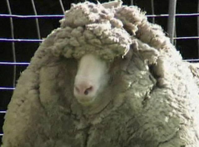 Bir koyundan 20 kilo yün