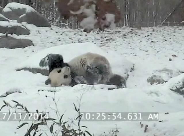 Dev pandanın kar sevinci