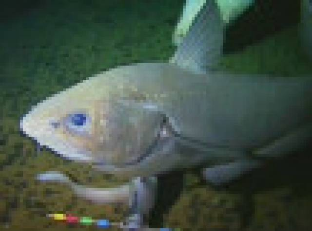 En derinde yaşayan yeni bir balık görüntülendi
