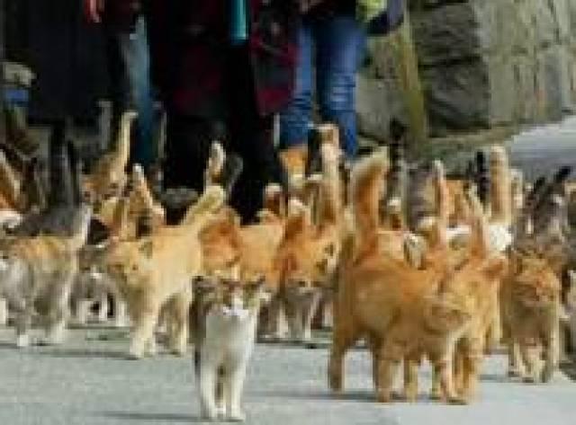 Japonya'nın 'Kedi Adası'nda 22 insan 120'den fazla kedi yaşıyor
