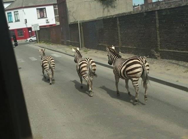 Brüksel'de Zebra Alarmı
