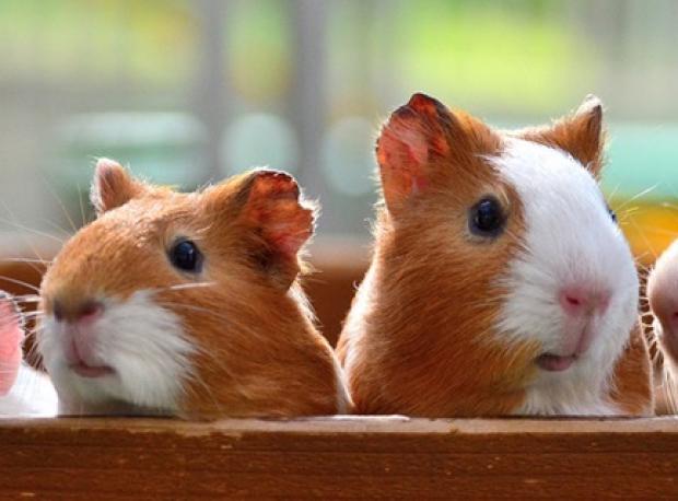 İşte Hamster Treni