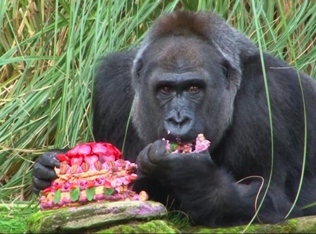 Dişi goril Zaire'nin 40'ıncı doğum günü için özel pasta