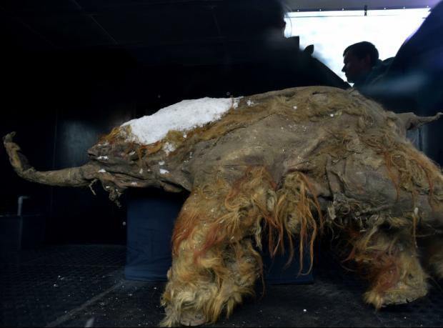 39 bin yaşındaki yavru mamut sergide