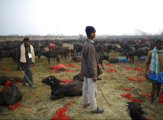 Nepal: Binlerce hayvanın kurban edildiği festival