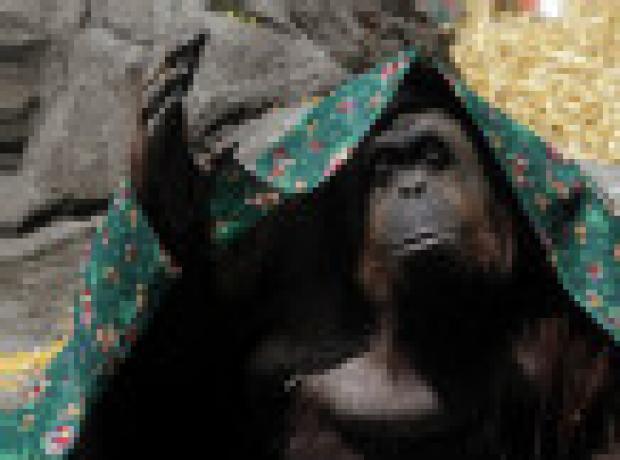 Arjantin'de bir orangutana 'insan hakları' verilecek