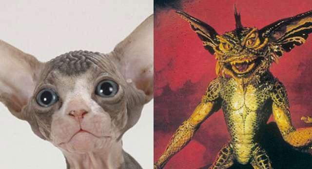 Sphynx Kedileri Şaşırtıyor